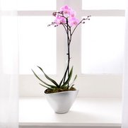 Single Spike Orchid
