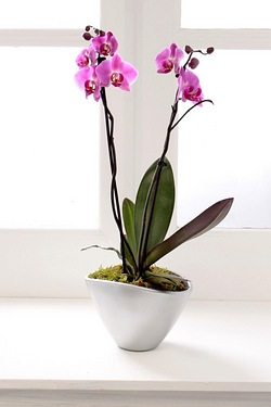 Personalised Double Spike Orchid