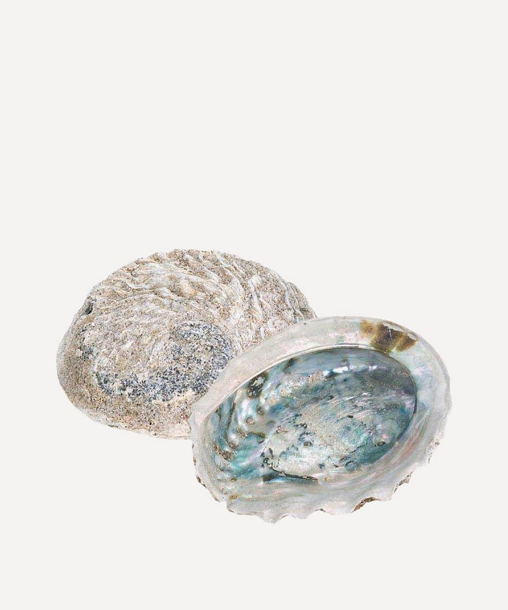 Small Rough Unpolished Abalone