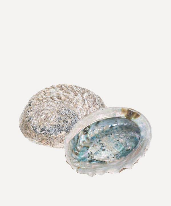 Small Rough Unpolished Abalone