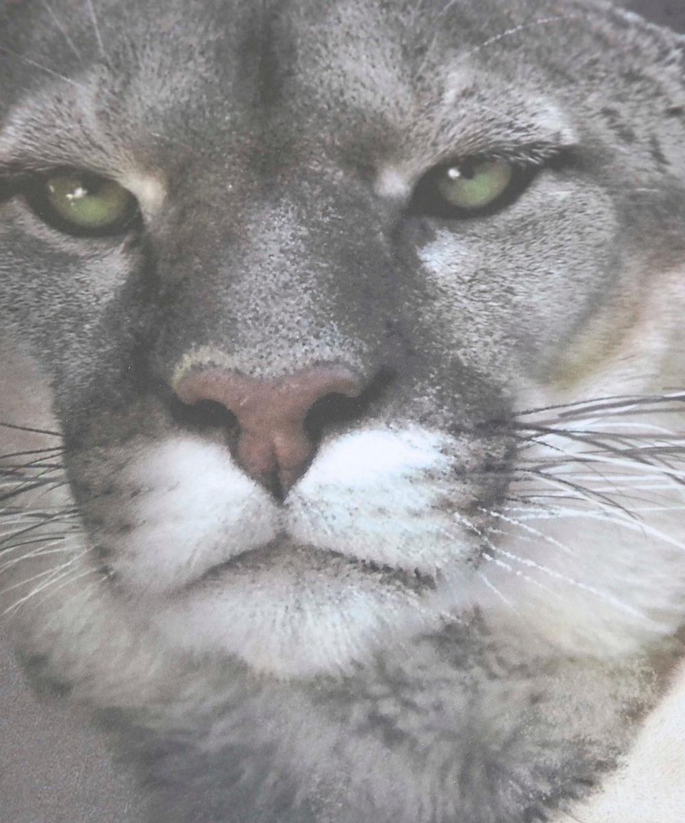 Medicis Urbin Cougar Round Tray