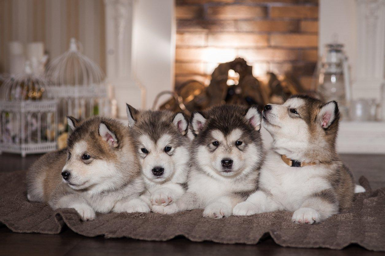 Alaskan Malamute Pets At Home