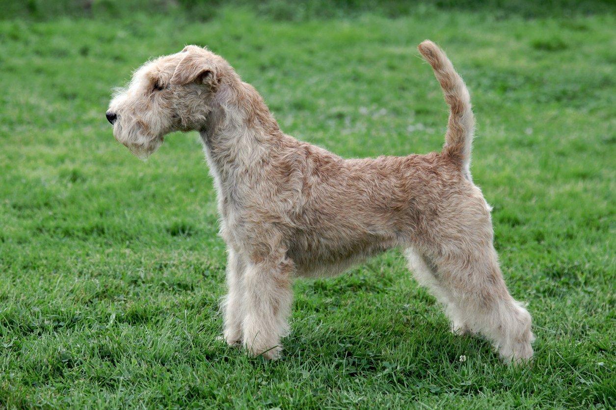 Lakeland Terrier Pets At Home