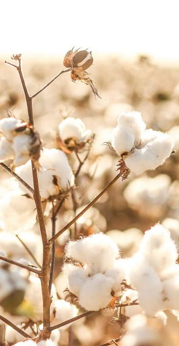 Close up of a cotton plant.
