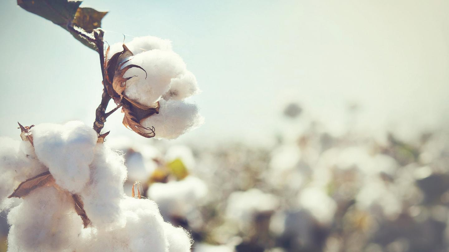Close up shot of a cotton plant
