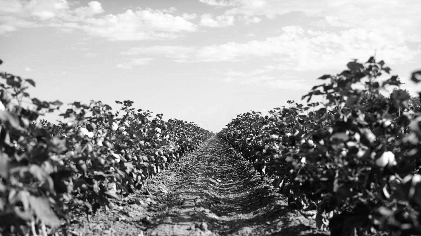 A black and white shot of a cotton plant field