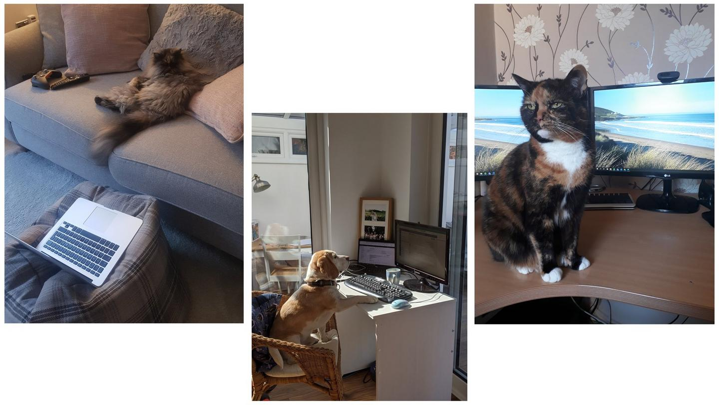 A fluffy cat sitting on a couch behind a laptop. A beagle sitting with his paw on a desk. A tortoiseshell cat sat on a desk.