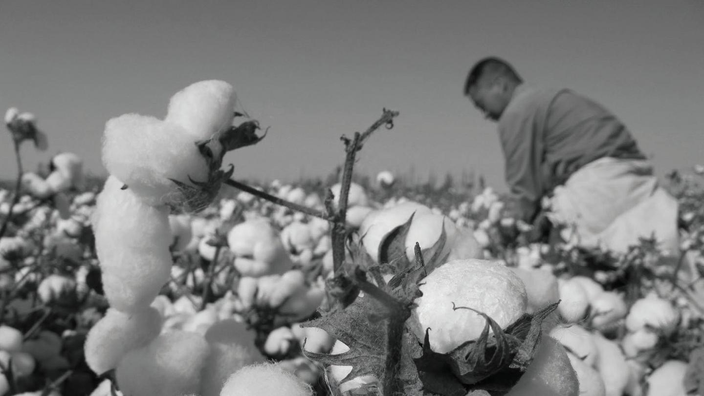The cotton fields where organic cotton is handpicked ready for clothing.