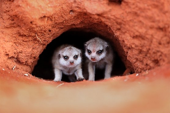Two baby meerkats peering out of their burrow, taken by Marina Cano on a Canon EOS-1D X Mark III.