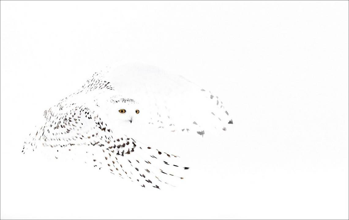 A white snowy owl camouflaged in the Canadian snow, photographed by Markus Varesvuo on a Canon EOS-1D X.