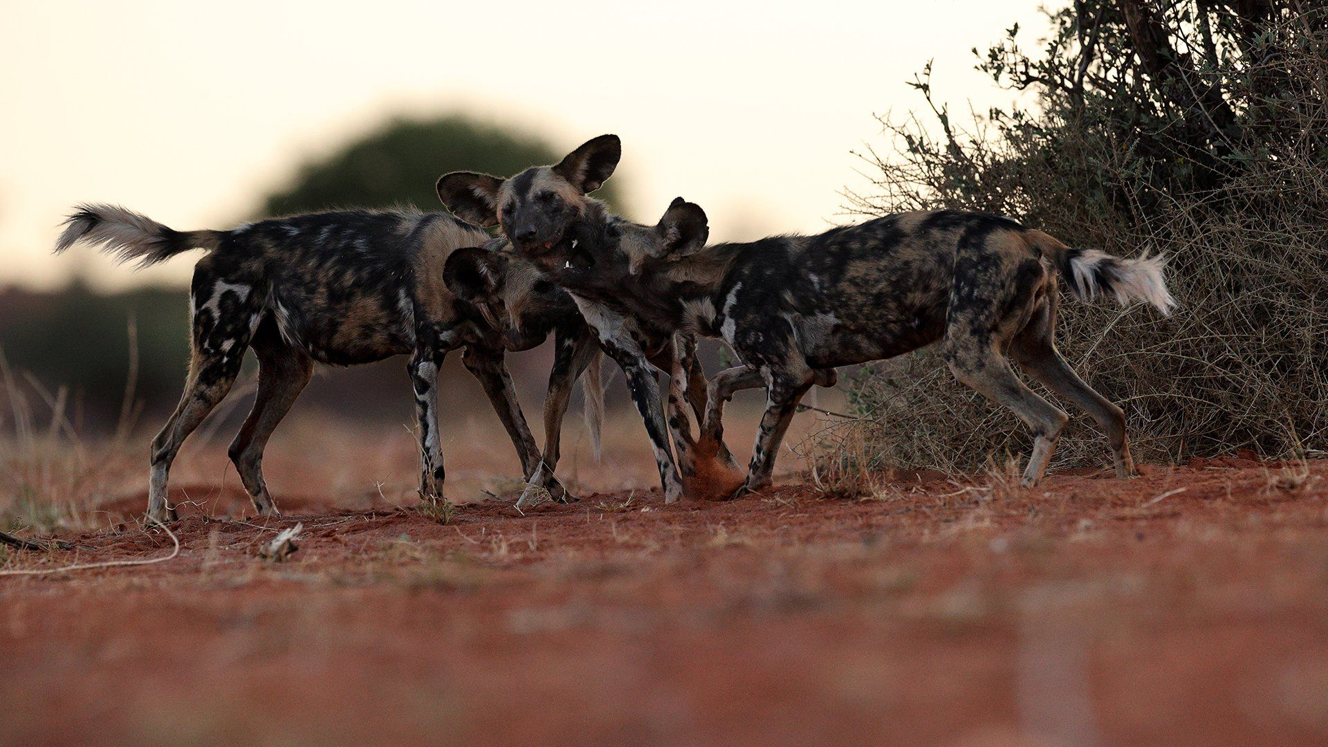 Hyenas in Kalahari