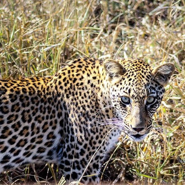 A leopard in Kruger National Park