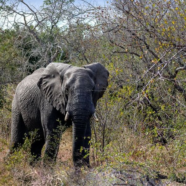 An elephant in Kruger National Park