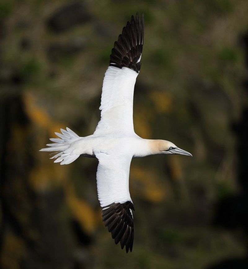 Gannet tracked in focus with 5D Mark IV