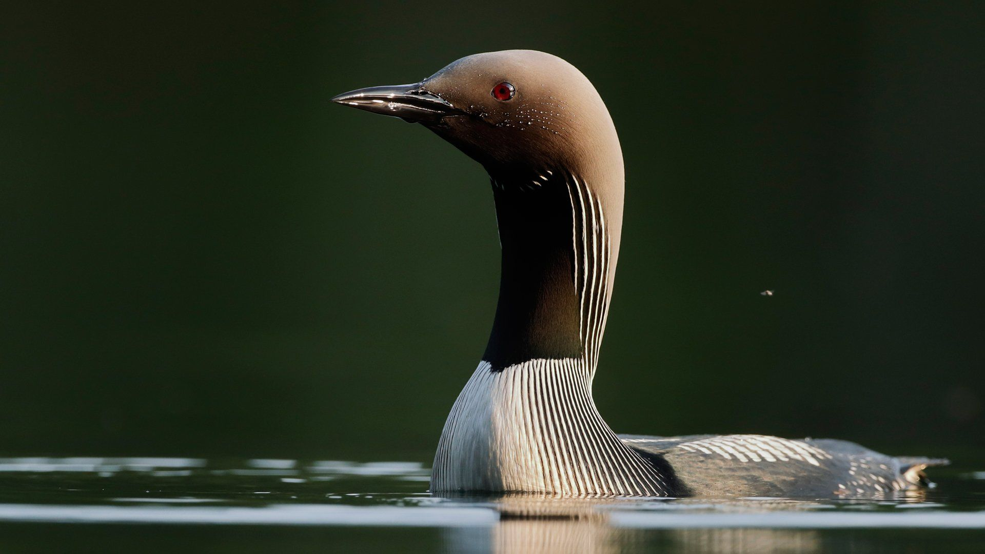 Canon EOS 90D - Markus Veresvuo - Black Throated Diver Lake Pattern