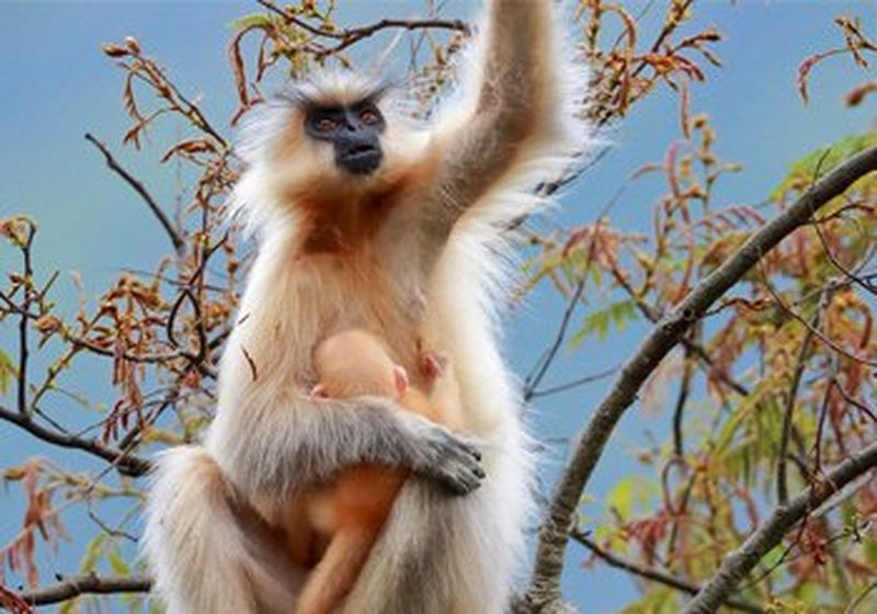 A golden langur on top of a tree in Bhutan with her newborn baby