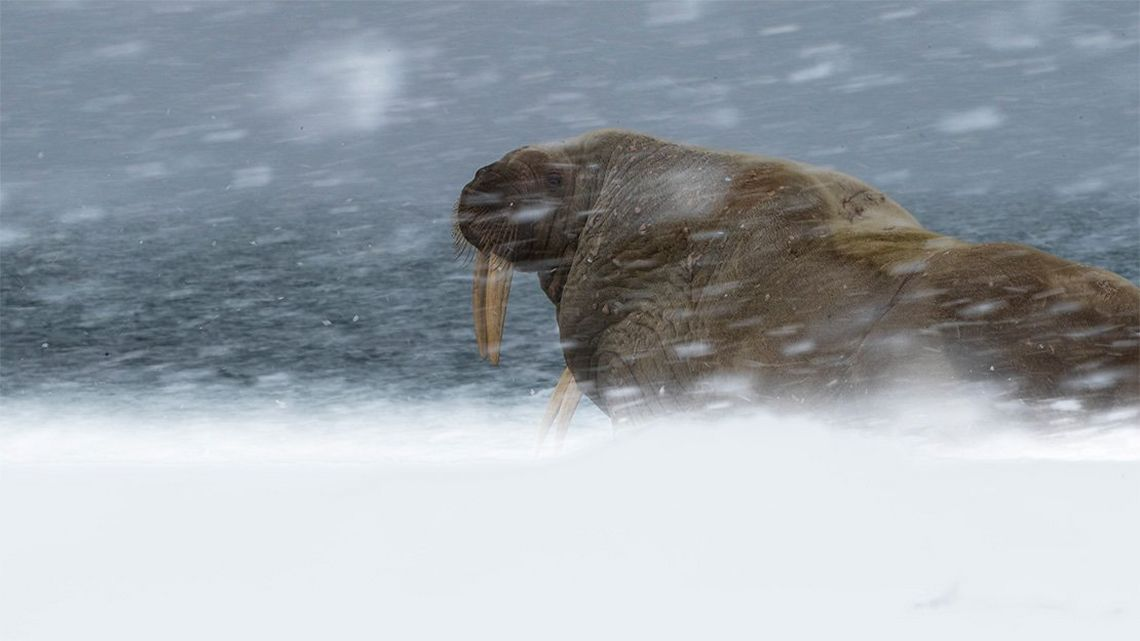 A walrus sits in snow, in a snowstorm.
