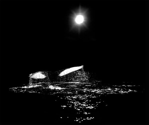 A black and white photo shows a whale diving below the surface of the ocean.
