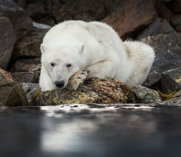 A polar bear lies on rocks beside the sea, its head on its paws.
