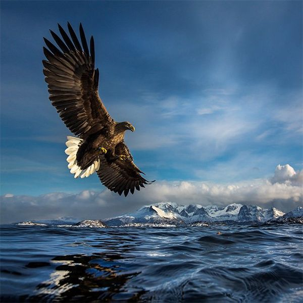 A sea eagle swoops low over the surface of the sea, snow-capped mountains in the background.
