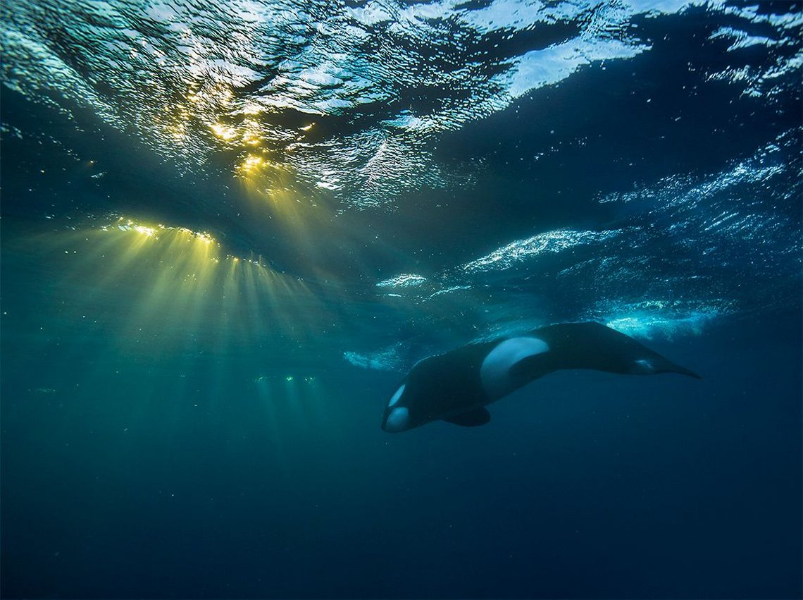 An underwater shot shows low sun bursting through the top of the waves while a killer whale surfaces for breath.