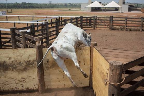 A cow captured in mid-leap jumping over a stockyard fence, its front legs already over the fence.