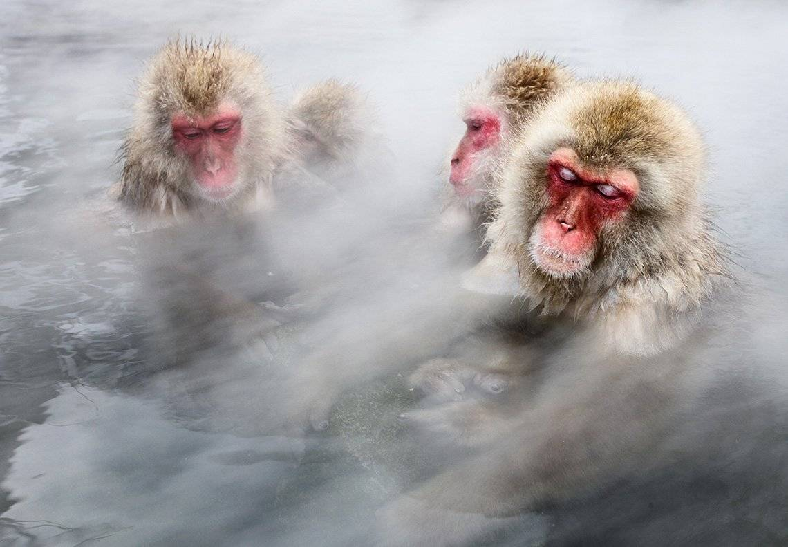 Four Japanese snow monkeys bathe in a steaming hot spring, their eyes closed and body language relaxed, like people in a hot tub.