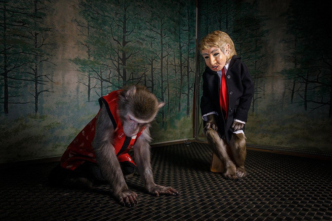 Two Japanese macaques, or snow monkeys, perform on stage. One wears a Donald Trump mask and the other wears a waistcoat.