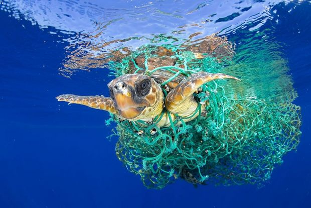 A loggerhead sea turtle swims entangled in abandoned fishing gear off the coast of Tenerife, Canary Islands, in the northeast Atlantic Ocean