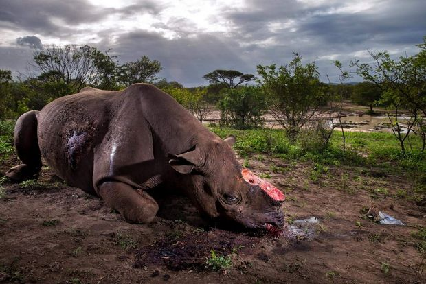 A black rhino bull is seen dead, poached for its horns less than eight hours earlier at Hluhluwe Umfolozi Game Reserve, South Africa.