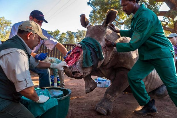 "A groundbreaking procedure using human abdominal surgery technology is utilized to close a gaping hole created by horn poachers who removed most of the face of a rhino called ""Hope."""