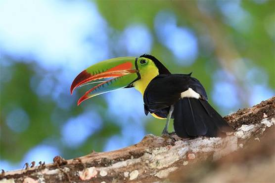 A brightly coloured toucan perched on a branch. Taken by Christian Ziegler.