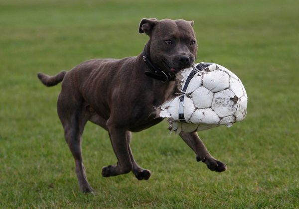 A dog carrying a torn football at Wanstead Flats, Epping Forest, London, England.