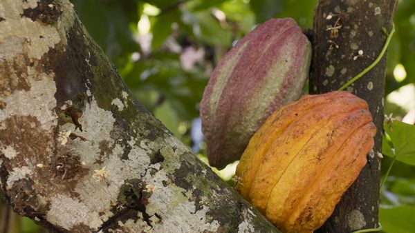 Two large cocoa pods hanging from a tree.