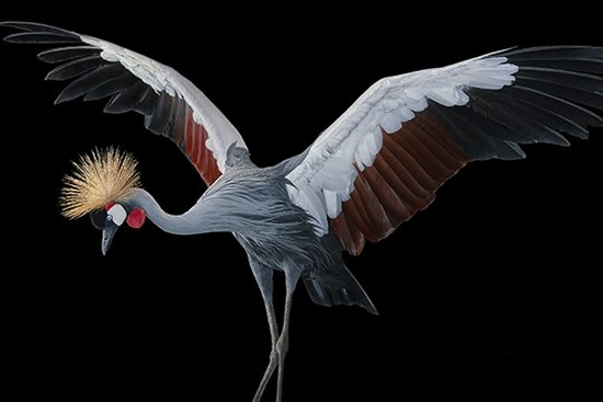A grey crowned crane with its wings raised.