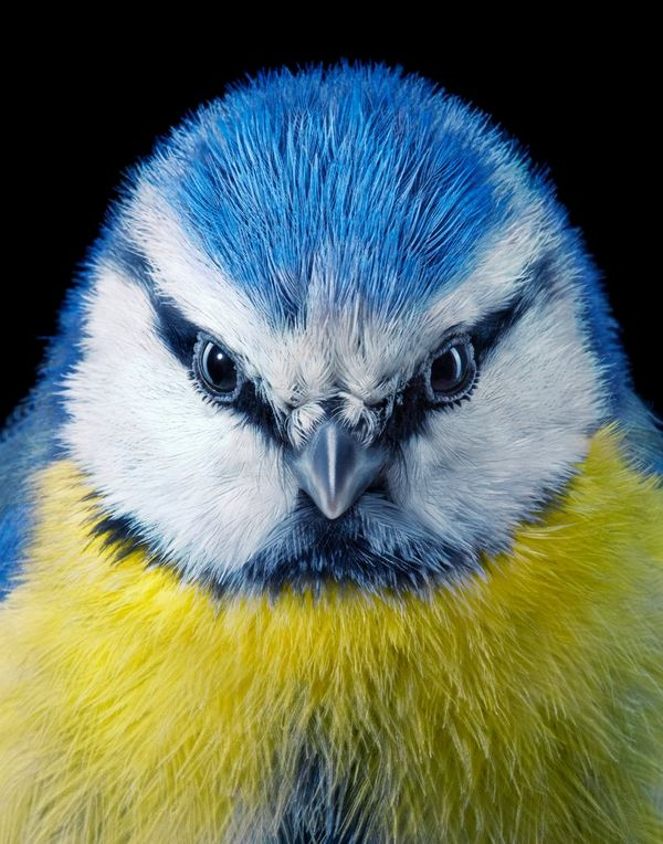 A close-up portrait of a vibrant blue tit.