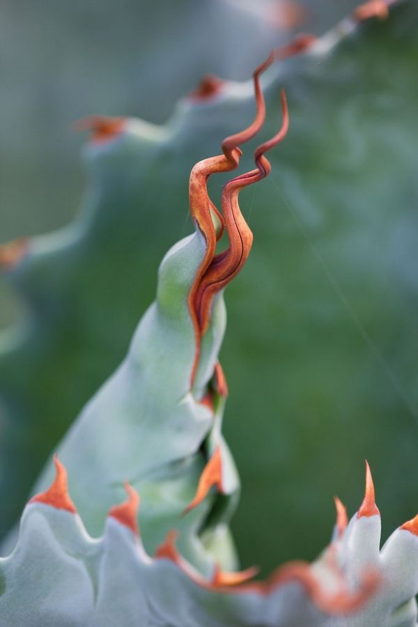 The spiked, pink-tipped leaves of an Agave potatorum taken with a macro lens by garden photographer Clive Nichols.