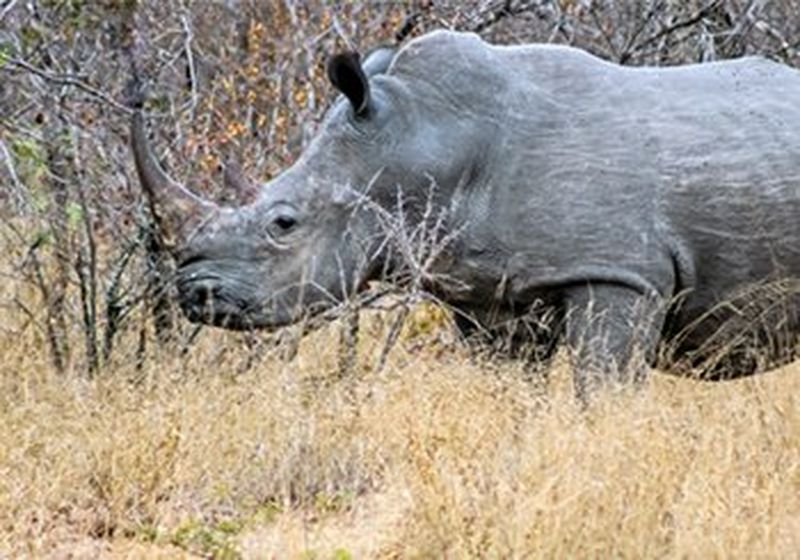 A rhino in the wild at Kruger National Park, South Africa (Copyright: Venessa Mathebula, age 15)
