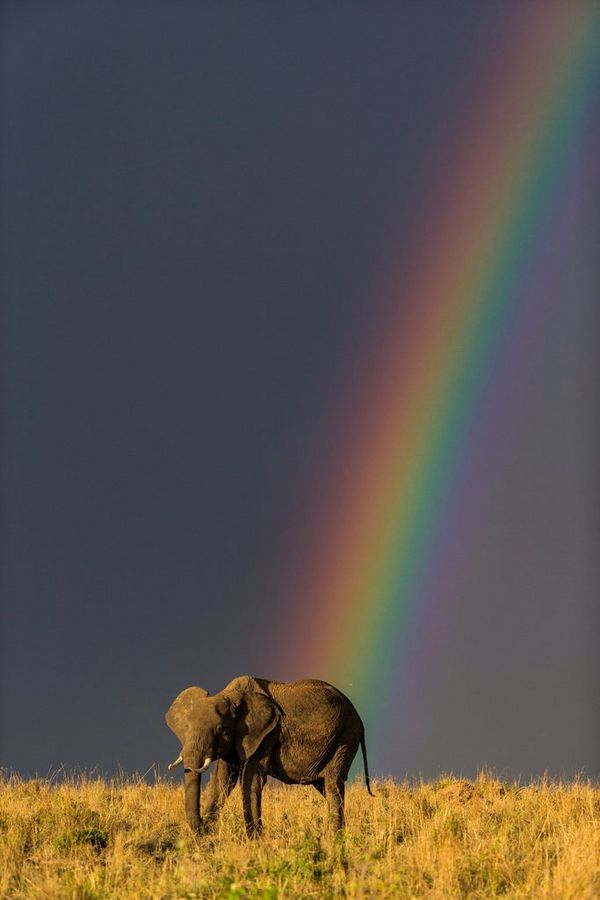 An elephant under a rainbow, photographed on a Canon EOS-1D X by Jonathan and Angela Scott.