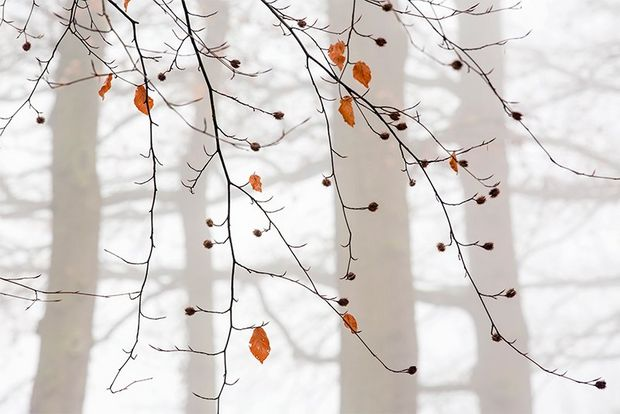 A few leaves hang on to otherwise bare branches as pale tree trunks are seen in the mist in the background.