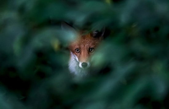 A fox stares through a gap in a bush, which is out of focus. Photo by Ossi Saarinen.