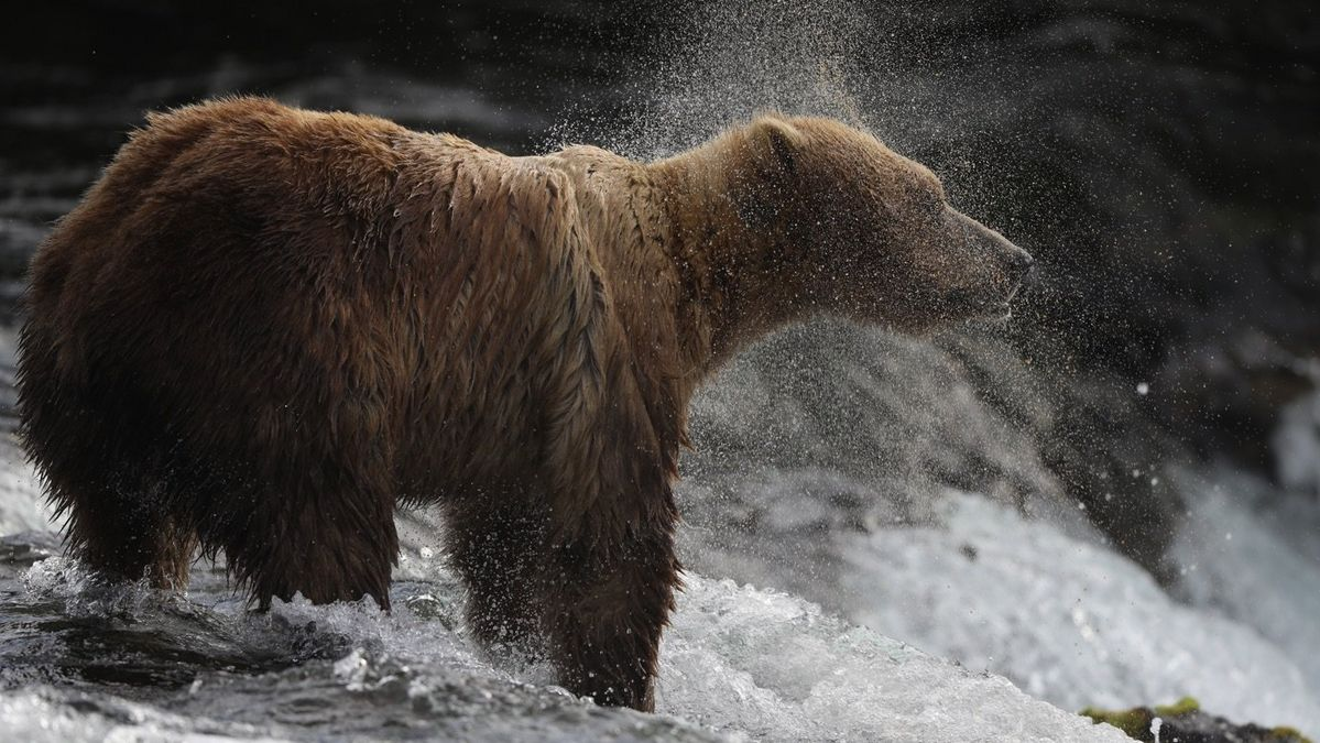 Grizzly bear waiting for fish at waterfall