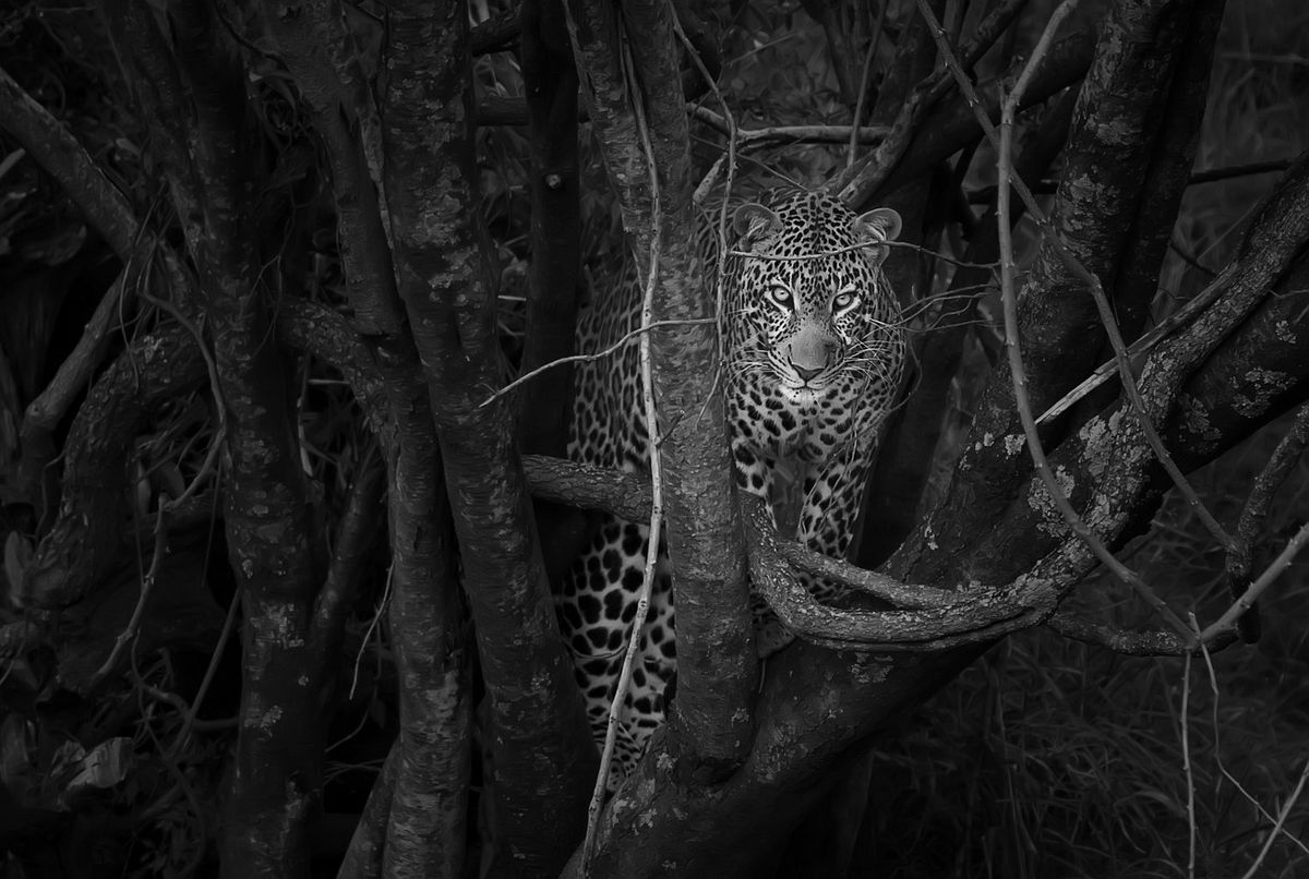 A black-and-white shot of a leopard in the branches of a tree.