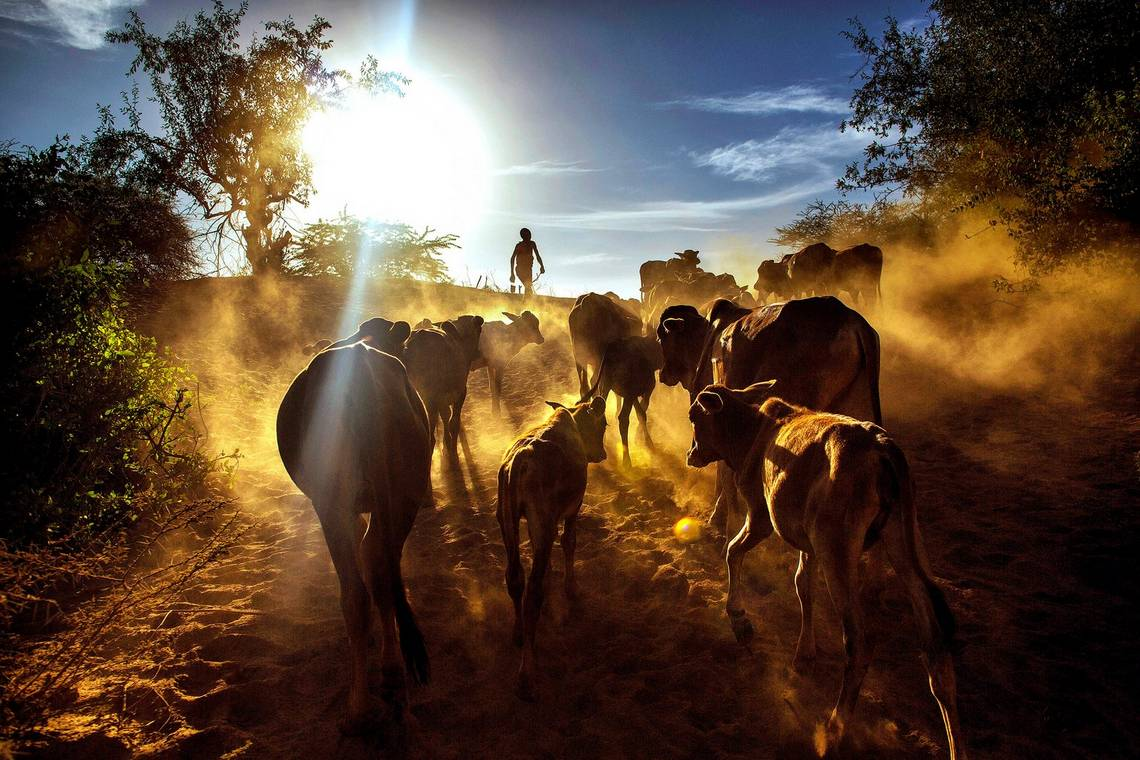 A Maasai boy herding calves home at sunset through Kenya's South Rift, taken by Canon Ambassador Georgina Goodwin on a Canon EOS 5D Mark III.
