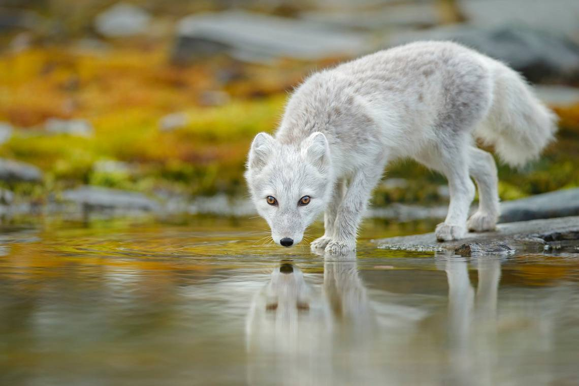 An Arctic fox drinks in the Norwegian wilderness by Radomir Jakubowski.