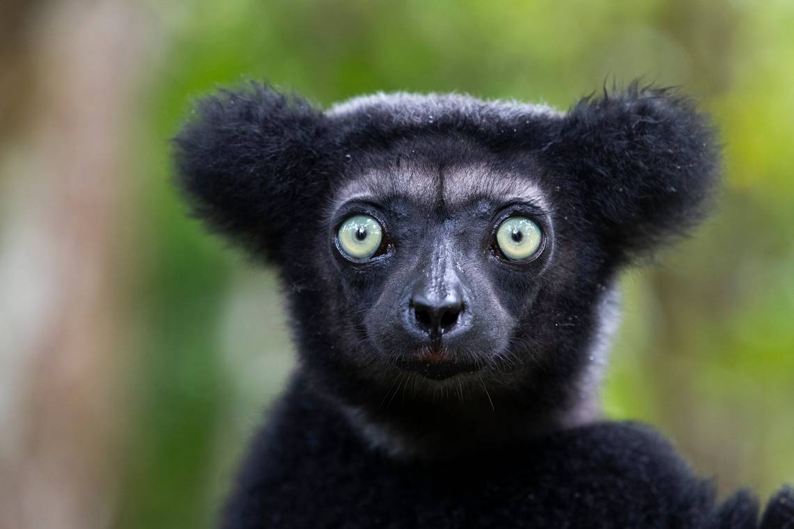 An Indri, the largest lemur species on Madagascar, photographed by Thorsten Milse on a Canon EOS-1D X Mark II.