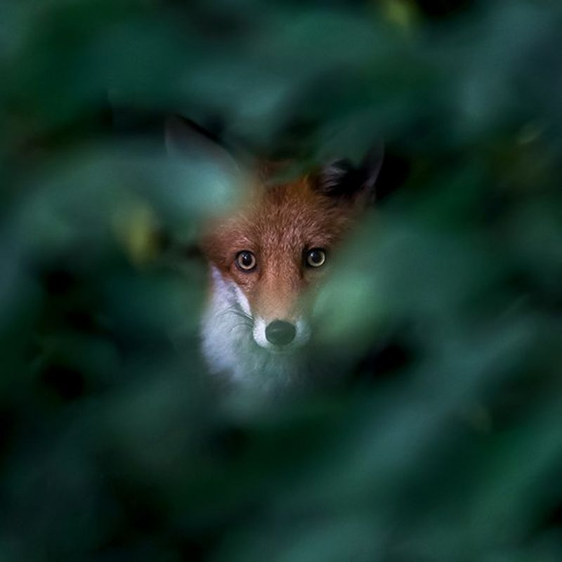 A fox stares at us through a gap in a bush, which is out of focus. Photo by Ossi Saarinen.