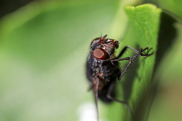 A close-up of a fly on a leaf. Taken on a Canon EOS 77D with a Canon EF-S 35mm f/2.8 Macro IS STM lens.