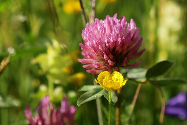 A close-up of a pink clover flower and a yellow buttercup.