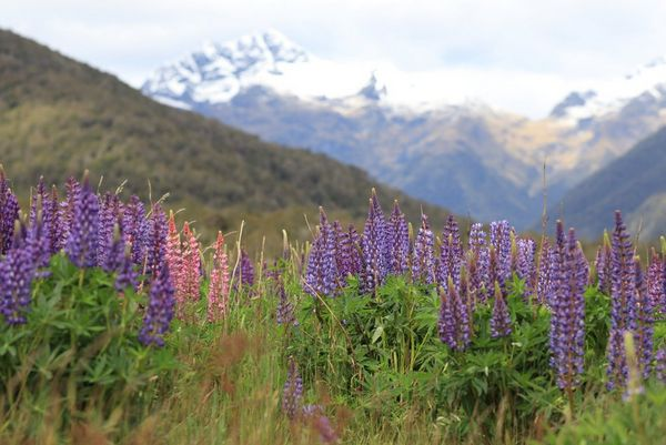 A landscape shot with small purple flowers in the foreground and snow-covered mountains in the distance.
